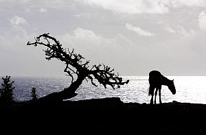 Horse (Equus caballus) and tree silhouetted against the Pacific Ocean in the Northwest coast of Easter Island (Pascua or Rapa Nui), Unesco World Heritage Site, November 2004  -  Oriol Alamany