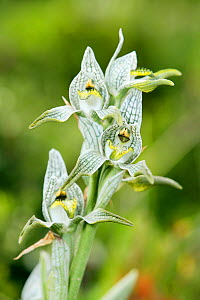 Magellan Orchid (Chloraea magellanica) in Torres del Paine National Park, Patagonia, Chile, Janaury - Oriol Alamany