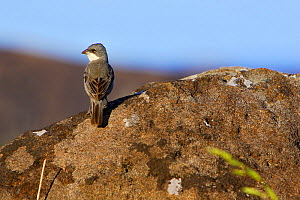 Common Diuca-Finch (Diuca diuca) perched on rock, Easter Island (Pascua or Rapa Nui), October  -  Oriol Alamany