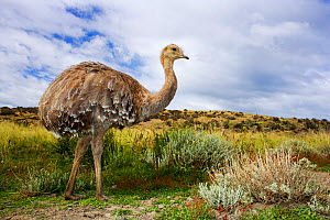 Darwin's Rhea (Rhea pennata), Torres del Paine National Park, Patagonia, Chile, January - Oriol Alamany