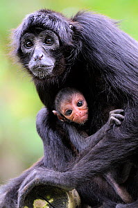 Brown headed spider monkey (Ateles fusciceps) mother with baby, captive  -  Eric Baccega