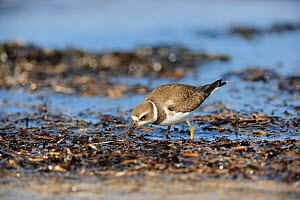 Semipalmated plover (Charadrius semipalmatus) foraging for food on beach, St Lawrence gulf, Kouchibouguac National Park, New Brunswick, Canada, September  -  Eric Baccega