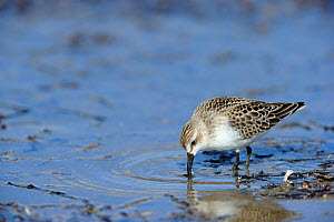 Semipalmated sandpiper (Calidris pusilla) foraging for food on the beach, St Lawrence gulf, Kouchibouguac National Park, New Brunswick, Canada, September - Eric Baccega