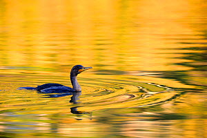 Double crested cormorant (Phalacrocorax auritus)  swimming on water at sunset, Cap Breton Highlands National Park, Nova Scotia, Canada, September  -  Eric Baccega