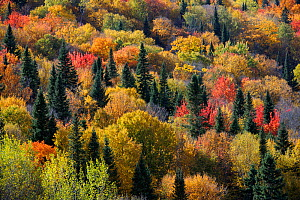 Aerial view of autumn colour in forest, New Brunswick, Canada, October 2010 - Eric Baccega