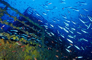 "The quarter deck of crude oil super-tanker ""Amoco Milford Haven"", surrounded by clouds of Swallowtail anthias (Anthias anthias) and Bogues (Boops boops). The tanker sank on April 14th, 1991 after thre...  -  Roberto Rinaldi"