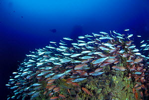 "Wreck of crude oil super-tanker ""Amoco Milford Haven"", surrounded by shoals of Swallowtail anthias (Anthias anthias) and Bogues (Boops boops). The tanker sank on April 14th, 1991 after three days of f...  -  Roberto Rinaldi"