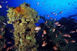 """The encrusted wreck of crude oil super-tanker """"Amoco Milford Haven"""", surrounded by Swallowtail anthias (Anthias anthias). The tanker sank on April 14th, 1991 after three days of fire. Genoa, Italy, 20... - Roberto Rinaldi"""