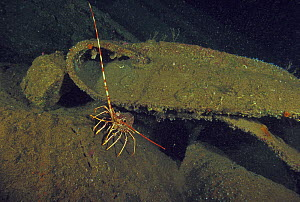 """Lobster (Palinurus) living on wreck of crude oil super-tanker """"Amoco Milford Haven"""", which sank on April 14th, 1991 after three days of fire. Genoa, Italy, 2007.  -  Roberto Rinaldi"""