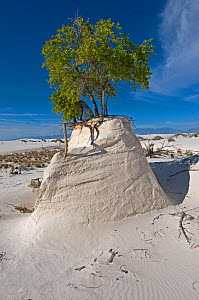 "Rio Grande Cottonwood tree (Populus fremonti wislizenii) on a sand ""pedestal""  White Sands National Park. New-Mexico, USA, August 2009  -  Daniel Heuclin"