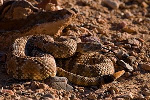 Panamint rattlesnake (Crotalus mitchelli stephensi) rattling tail, Panamint mountains, Death valley NP, California, USA. Controlled conditions.  -  Daniel Heuclin