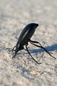 Dune Darkling beetle (Eleodes suturalis) in head-stand posture, White Sands National Park, New-Mexico, USA - Daniel Heuclin