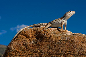 Long-nosed Leopard Lizard (Gambelia wislenzenii) Nera Alamogordo. New-Mexico, USA. Controlled conditions. - Daniel Heuclin
