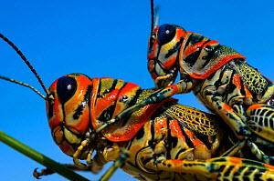 Pair of Rainbow Grasshoppers (Dactylotum bicolor)  mating. Arizona, USA. Controlled conditions.  -  Daniel Heuclin