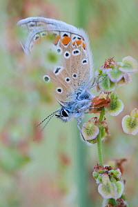 Common blue butterfly (Polyommatus icarus)warming up, Berlin, Germany, July  -  Florian Möllers