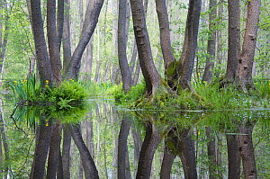 Alder trees (Alnus sp) reflected in standing water in nature reserve, Berlin, Germany, May 2009  -  Florian Möllers