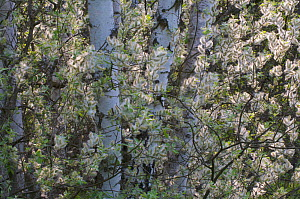 Willow flowers (Salix sp) amongst trunks of Birch trees (Betula sp), Germany, May  -  Florian Möllers