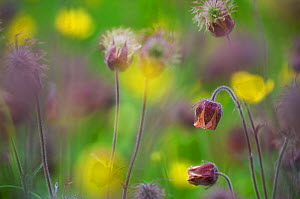 Water avens (Geum rivale) and Meadow buttercup(Ranunculus acris) flowering in NSG Kalktuffgelsende, Berlin, Germany.  -  Florian Möllers