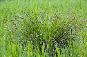 Sedge (Carex sp) in a nature reserve in Berlin, Germany, June  -  Florian Möllers