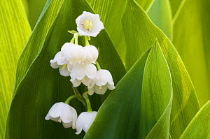 Lily of the Valley (Convallaria majalis) flowers, Grunewald forest, Berlin, Germany, April  -  Florian Möllers