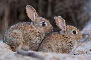 Two young European rabbits (Oryctolagus cuniculus) near subway station Haselhorst, Berlin, Germany, June 2008  -  Florian Möllers