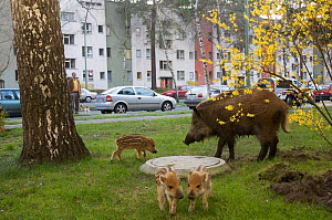 Wild boar (Sus scrofa) sow and piglets foraging in a city garden, Argentinischen Allee, Berlin, Germany, March 2007 - Florian Möllers