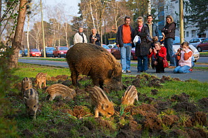 People watching Wild boar (Sus scrofa) sow and piglets foraging in a city garden, Argentinischen Allee, Berlin, Germany, March 2007  -  Florian Möllers