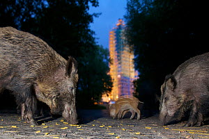 Wild boar (Sus scrofa) sow, yearling and piglets feeding on noodles at the Grunewald tower, Berlin, Germany, June 2009  -  Florian Möllers