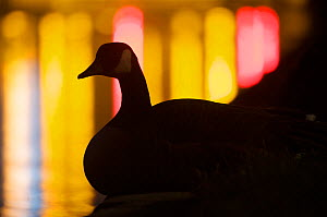 Canada goose (Branta canadensis) silhouette against the lights of a floodgate on the river Spree, Tiergarten, Berlin, Germany.  -  Florian Möllers