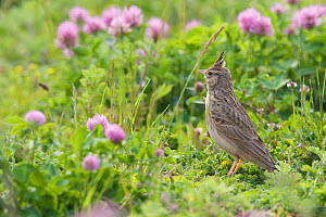 Crested lark (Galerida cristata) amongst flowers on a construction site in Berlin, Germany, May  -  Florian Möllers