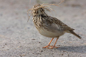 Crested lark (Galerida cristata) collecting nest material on a construction site in Berlin, Germany, May  -  Florian Möllers