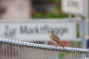 Rear view of Crested lark (Galerida cristata) perched on fence at a construction site in Berlin, Germany, May  -  Florian Möllers