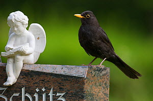 Blackbird (Turdus merula) male perched on a gravestone, Berlin, Germany, June - Florian Möllers