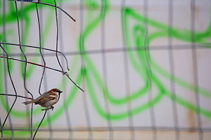 "House sparrow (Passer domesticus) perched on the fence of a construction site at the ""Tacheles"", Berlin, Germany, June - Florian Möllers"