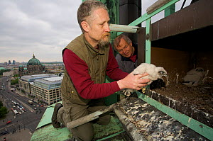 Bird of prey expert Paul Sammer putting a young ringed Peregrine falcon (Falco peregrinus) back into an artificial next box on the Marienkirche, Alexanderplatz, Berlin, Germany, May 2006  -  Florian Möllers