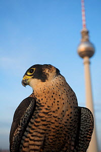 Peregrine falcon (Falco peregrinus) captive, female, perched in Alexanderplatz, Berlin, Germany, November - Florian Möllers