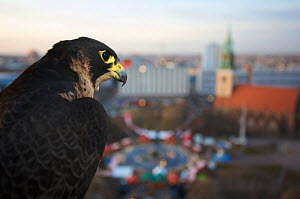 Peregrine falcon (Falco peregrinus) captive, female, perched above Alexanderplatz, Berlin, Germany, November - Florian Möllers
