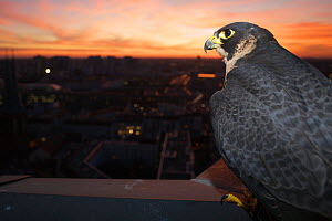 Peregrine falcon (Falco peregrinus) captive, female, perched at sunset with view over Berlin, Germany, November.  -  Florian Möllers