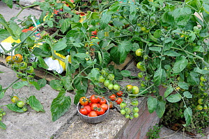 Patio Tomatoes (Solanum lycopersicum) in growbags, 'Sweet Olive', Norfolk, UK, August  -  Gary K. Smith