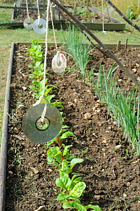 Pest protection, Using CD's to scare off birds from Swiss Chard, Norfolk, UK, July  -  Gary K. Smith