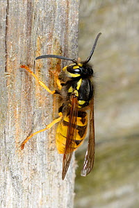 Common wasp (Vespula vulgaris) collecting nest material from wooden fence, Norfolk, UK, October - Gary K. Smith