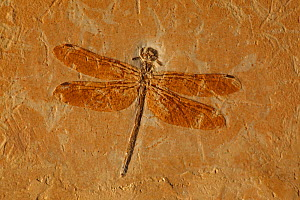 Fossil Dragonfly (Cordulagomphus fenestratus) from the Lower Cretaceous Period, 125 million years old. Araripe basin, Brazil  -  John Cancalosi