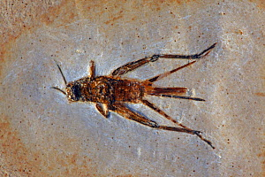 Fossil Cricket (species unknown) from the Early Cretaceous Period. Santana Formation, Brazil  -  John Cancalosi