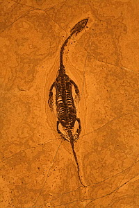 Fossil Keichousaurus (Keichousaurus hui, family Pachypluerosauridae), a lizard-like marine reptile from the Triassic Period. China - John Cancalosi