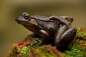 Green frog (Rana clamitans) on mossy stone. New York, USA, October  -  John Cancalosi