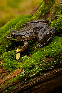 Green frog (Rana clamitans) on mossy log. New York, USA, October  -  John Cancalosi