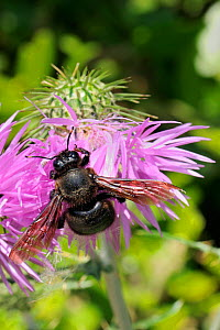 Male Violet carpenter bee (Xylocopa violacea) with tatty wings feeding on Scotch / Cotton thistle (Onopordum acanthium), Port Cros Island National Park, Hyeres archipelago, France, May. - Nick Upton