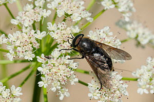 Large black Horse fly (Dasyrhamphis anthracinus) feeding on Angelica (Angelica sylvestris) umbel flowerhead. Corsica, France, June. - Nick Upton