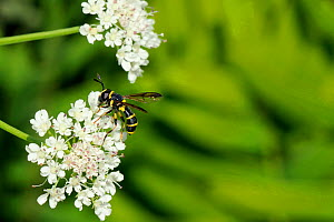 Male wasp-mimicking Hoverfly (Ceriana vespiformis) feeding on Wild angelica (Angelica sylvestris) umbel flowers. Corsica, France, June. - Nick Upton