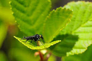 Water snipe fly (Ibisia sp), an uncommon, specialist insect of clear-water mountan streams, resting on a montane streamside leaf. Corsica, France, June.  -  Nick Upton